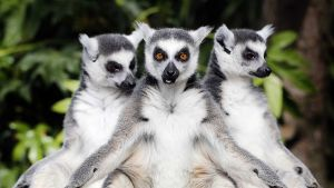 Kolme luonnossa vain Madagaskarilla esiintyvää makiapinaa ensimmäistä kertaa ulkona Avifauna-lintutarhassa.