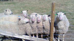 Kuvassa lampaita verkkoaidan takana.