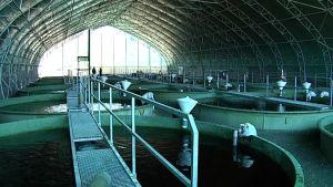 Kalankasvatusaltaita hallissa.