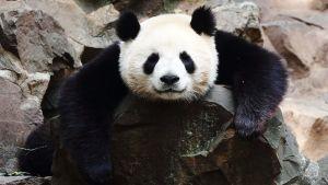 Panda nukkuu.
