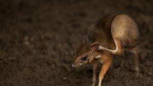 Eteläespanjalaisessa eläintarhassa huhtikuun alussa syntynyt jaavankääpiökauriin poikanen.