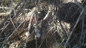 Huuhkajan munia kuusen juurella olevassa pesässä