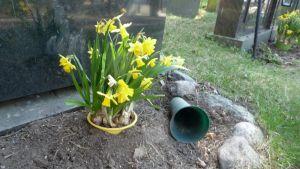 Narsisseja haudalla.