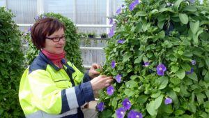 Kukkia; kukka; kukkapylväs; Oulu; kevätkukat; puutarhuri Tarja Kynkäänniemi