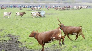 Ihmiset kerääntyivät katsomaan, kun lehmät kirmasivat kesälaitumille Helsingin Viikissä 10. toukokuuta.