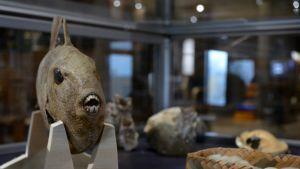 Täytetty kala Raahen museossa