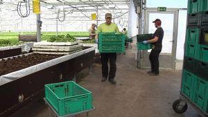 Jääsalaattia pakataan kärryihin Tamsin kauppapuutarhalla.