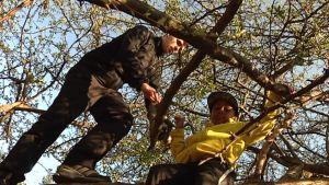 Eero Arvonen ja Samuel Mäki kiipeilevät puissa.