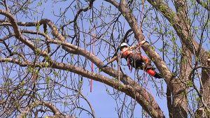 Ihminen kiipeilee puussa.