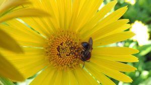 Pölyttäjä keltaisessa kukassa.