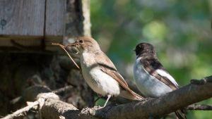 Linnut pesäntekopuuhissa.