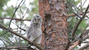 Pöllö puussa.