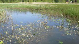 Kuolleita kaloja Tykölänjärven pohjoispäästä 5.6.2014