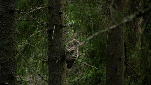 Pöllö Evon vanhassa metsässä