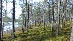 Äivihjärven rantaa Lemmenjoella Inarissa