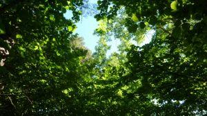 Puiden muodostama katos metsäpolulla.