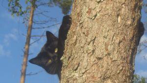 musta kissa puussa