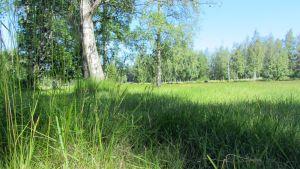 Kuvassa pitkää ruohoa puistossa