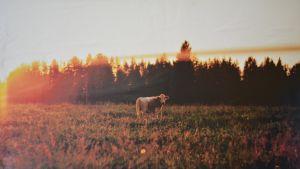 Sinikka Moilasen valokuva lehmästä, joka seisoo syksin pellolla auringonlaskussa.