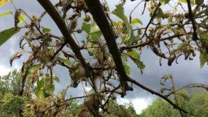 Omenankehrääjäkoin toukkia Helsingissä