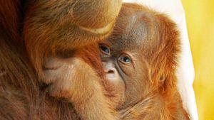 Maailman ensimmäinen keinohedelmöityksellä alkunsa saanut kuukauden ikäinen oranginpoikanen emonsa sylissä yhdysvaltalaiseläintarhassa.