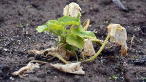 Kuvassa alkukesän säästä kärsinyt kurpitsan taimi