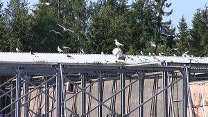 Lokkeja Tarastenjärven kaatopaikalla Tampereella