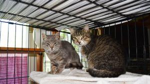 Kaksi harmaata kissaa istuu häkissä. Kissaveljekset Hannu ja Hemmo löytyivät maalaistalon pihalta Iisalmen Hernejärveltä. Kissat tulivat Kuopion löytöeläinsuoja Piskikseen 10 kissan laumasta.