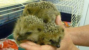 Siilin poikasia eläinsuojeluvalvojan kädessä