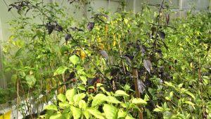 Kasvihuoneessa kasvaa erilaisia chilejä.