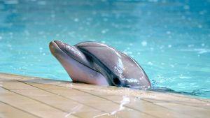 Delfiini Särkänniemen delfinaariossa vuonna 2010.