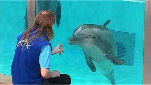 Delfiinihoitaja katselee delfiiniä.