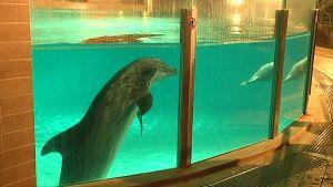 Delfiini katselee altaasta.