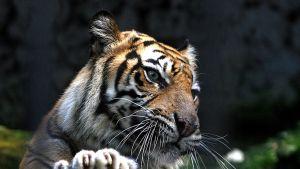 Sumatrantiikeri nojaa puunrunkoa vasten ja haaveilee rauta-aidan takana.