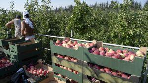 Miehet poimivat omenoita Zurawican kylässä, Puolassa torstaina. Puolalaisten hedelmien ja vihannesten maahantuonti kiellettiin keskiviikkona.