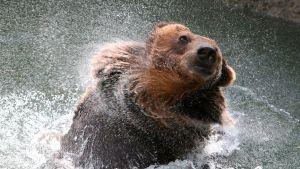 Karhu vilvoittelee vedessä.