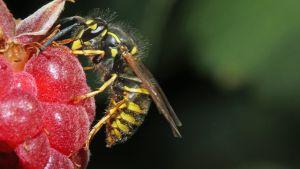 Kuvassa vadelmaa syövä ampiainen.