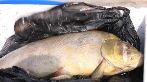 Kokemäenjoesta löytyi runsaasti kuolleita kaloja