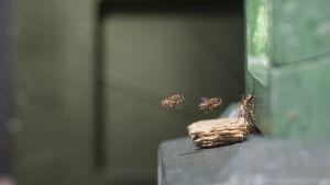Mehiläisiä lentämässä pesään vaasalaisessa kaupunkimehiläistarhassa.