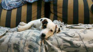 Koira makaa peiton päällä sohvalla