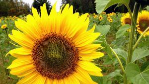 Auringonkukka on näyttävä maisemakasvi.