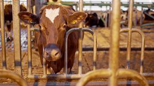 Lehmä navetassa maitotilalla.