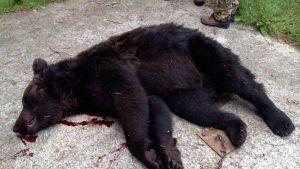 Ähtäri-Soini-Lehtimäki -alueen yhteislupa-alueella kaadettiin ensimmäinen karhu keskiviikkona 3. syyskuuta 2014.