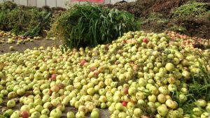 Suuria määriä omenaa jätekeskuksessa.