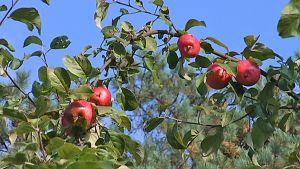 Omenoita Tahmelan omenapuistikossa