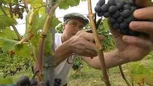 Tanskalainen viinitarhuri Kim Madsen korjaamassa viinisatoaan.