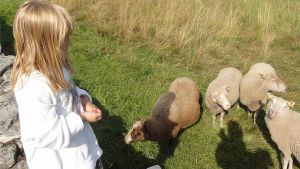 Lampaita, lampaat perinnemaiseman hoitajina