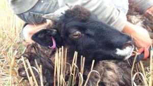 Mies ottaa lampaan kiinni laitumelta viedäkseen sen teuraaksi.