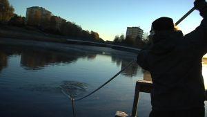Oulujokisuussa lipotaan siikaan syksyisin lokakuussa.