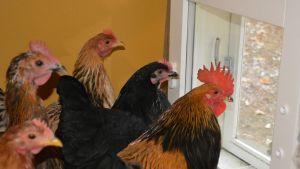 Kukko ja kanat katselevat ulos kotikanalan ikkunasta.